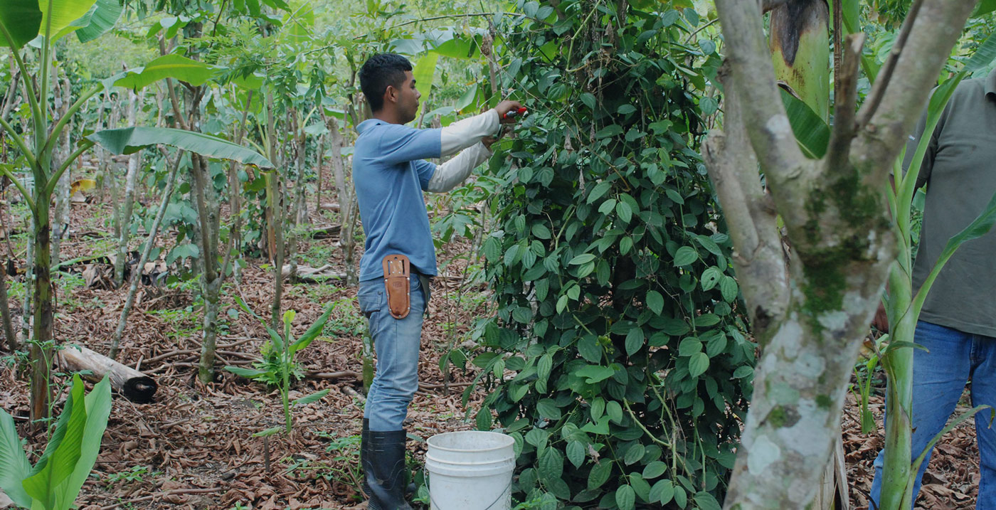 Innovation in Action: A Sustainable Alternative to Slash and Burn Agriculture!