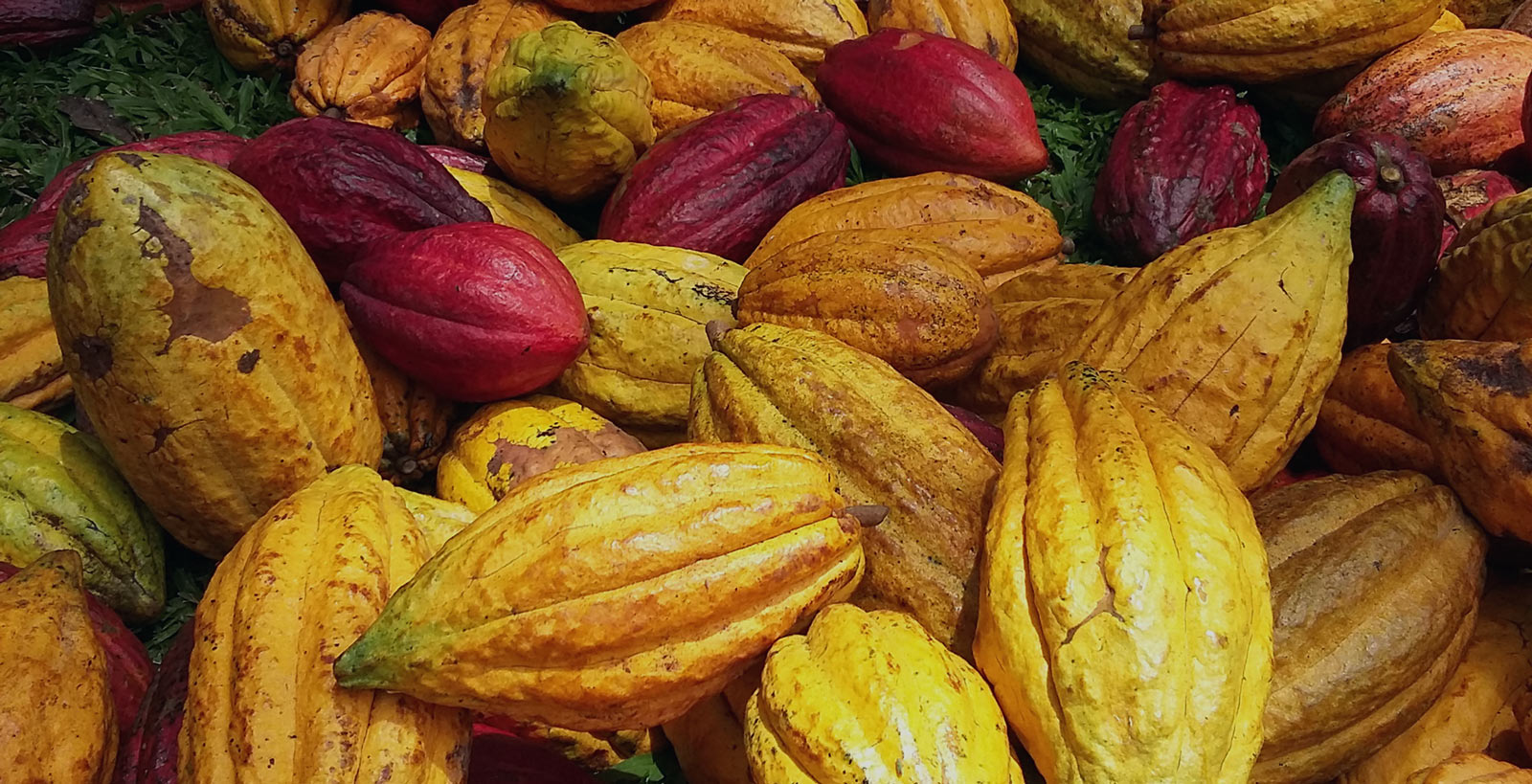 Cultivating Cacao – a Female Farmer Carries on the Family Trade, Organically!