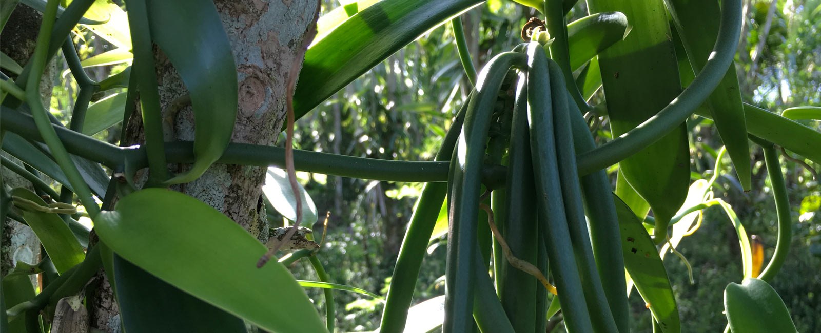 Organic vanilla in Niue: empowerment and legacy for Maryanne Talagi