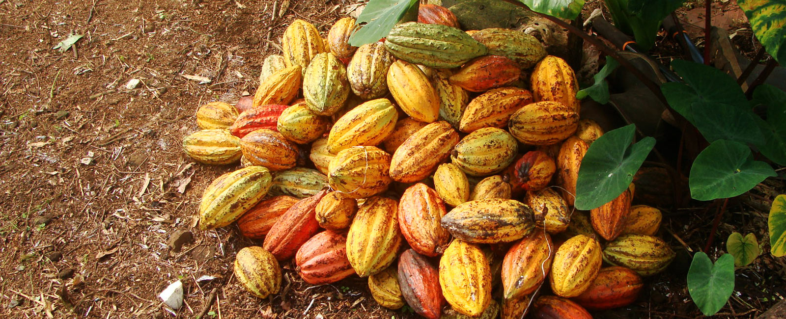 The Bittersweet Life of an Organic Cacao Farmer in Samoa (Part 1)